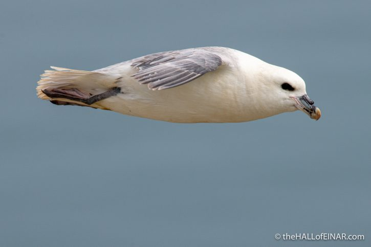 Fulmar at Bempton - The Hall of Einar - photograph (c) David Bailey (not the)