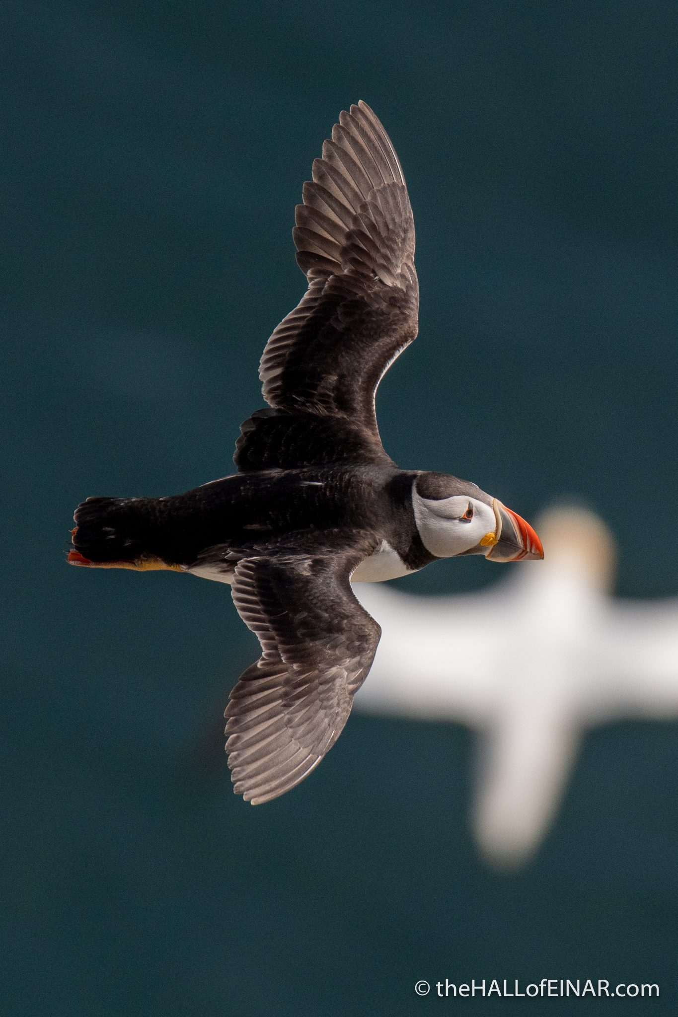 Puffin at Bempton - The Hall of Einar - photograph (c) David Bailey (not the)