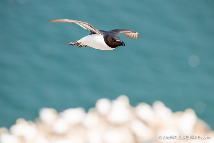 Razorbill at Bempton - The Hall of Einar - photograph (c) David Bailey (not the)