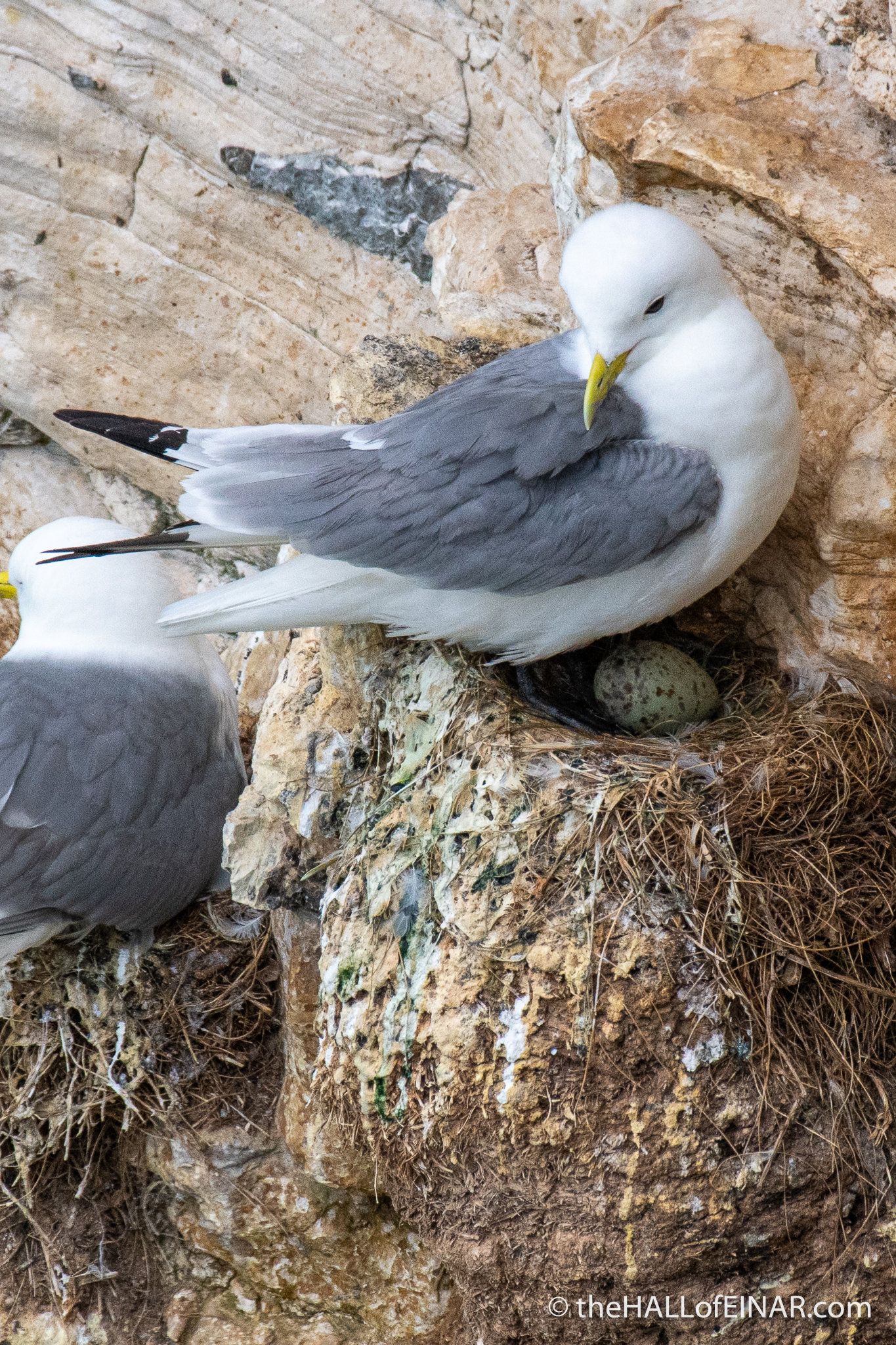 Kittiwake with egg - Bempton - The Hall of Einar - photograph (c) David Bailey (not the)