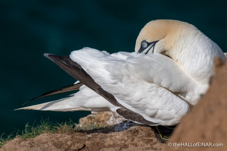 Gannet at Bempton - The Hall of Einar - photograph (c) David Bailey (not the)