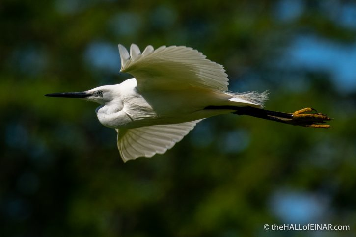 Little Egret - Caffarella - The Hall of Einar - photograph (c) David Bailey (not the)