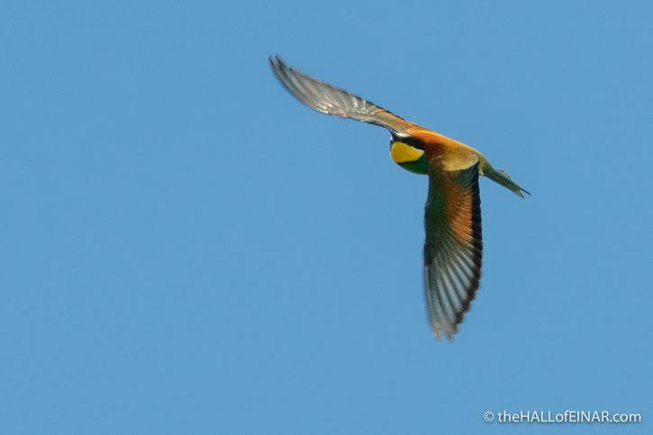 Bee Eaters - Caffarella - The Hall of Einar - photograph (c) David Bailey (not the)