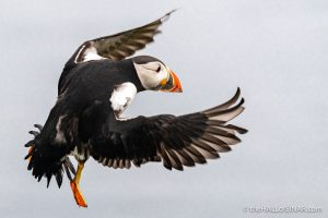 Thursday's Puffin - The Hall of Einar - photograph (c) David Bailey (not the)