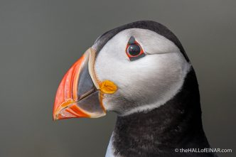 Sunday's Puffin - The Hall of Einar - photograph (c) David Bailey (not the)
