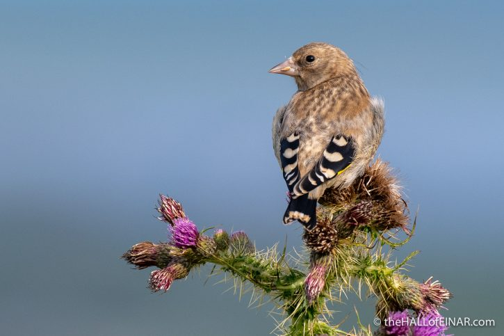 Juvenile Goldfinch - The Hall of Einar - photograph (c) David Bailey (not the)