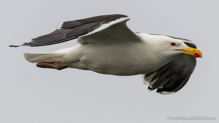 Great Black Backed Gull - The Hall of Einar - photograph (c) David Bailey (not the)