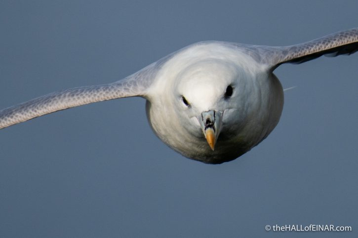Fulmar - The Hall fo Einar - photograph (c) David Bailey (not the)