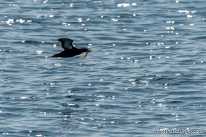 Black Guillemot with Butterfish - The Hall of Einar - photograph (c) David Bailey (not the)