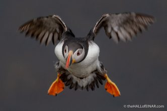 Puffins - The Hall of Einar - photograph (c) David Bailey (not the)