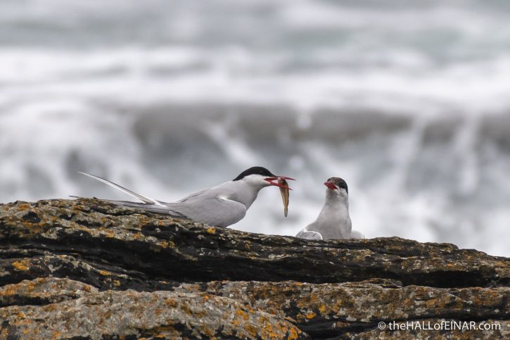 Arctic Terns - The Hall of Einar - photograph (c) David Bailey (not the)