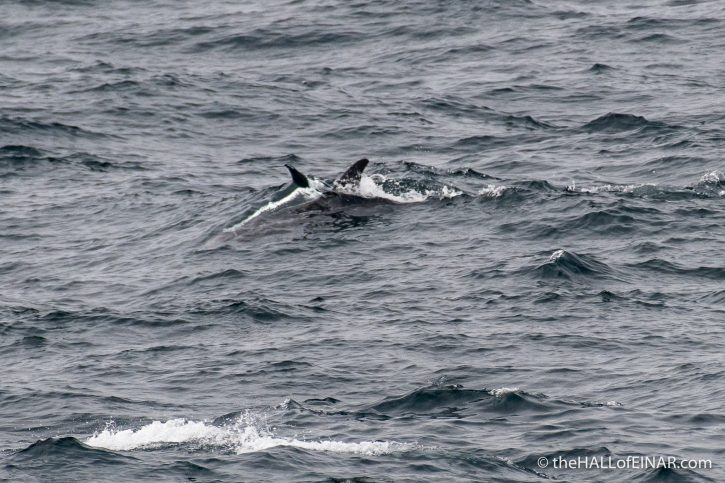 Risso's Dolphin - The Hall of Einar - photograph (c) David Bailey (not the)