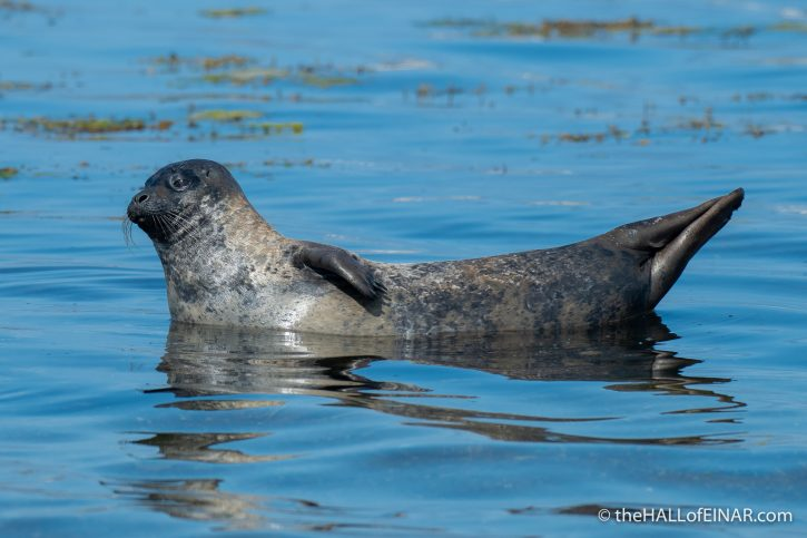 Common Seal - The Hall of Einar - photograph (c) David Bailey (not the)