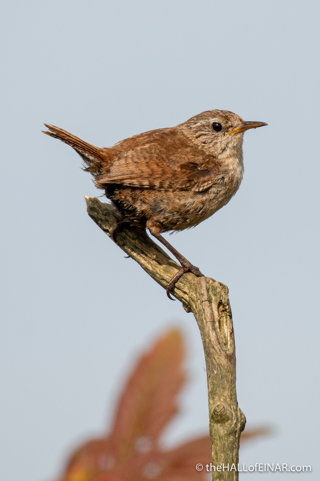 Wren - The Hall of Einar - photograph (c) David Bailey (not the)
