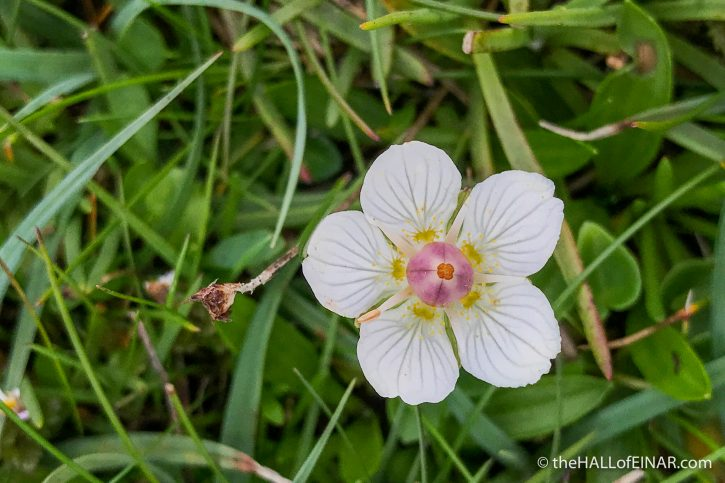 Grass of Parnassus - The Hall of Einar - photograph (c) David Bailey (not the)