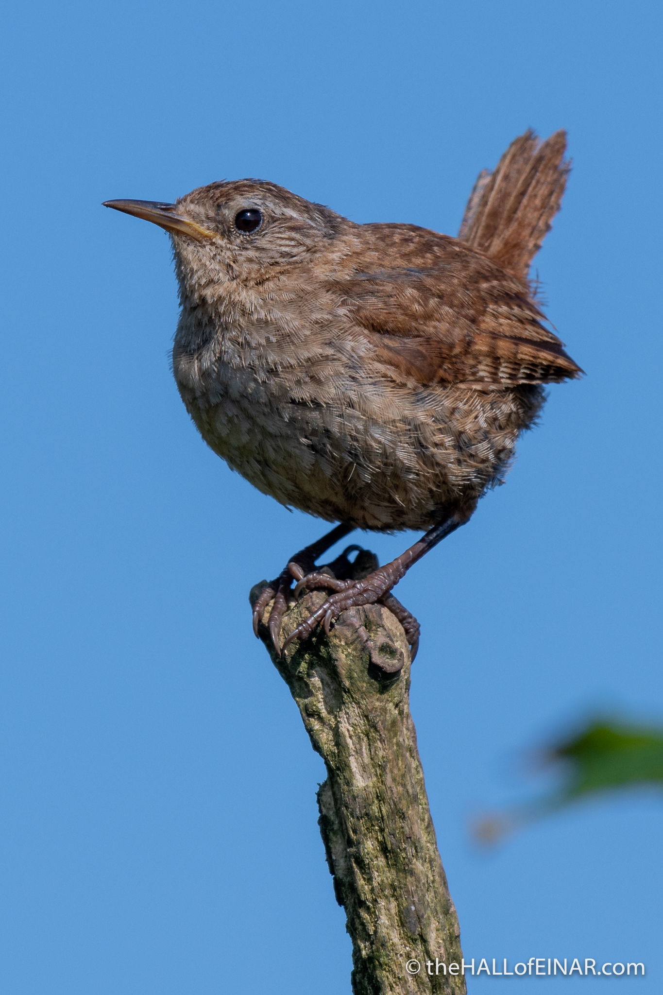 Wrens - The Hall of Einar - photograph (c) David Bailey (not the)