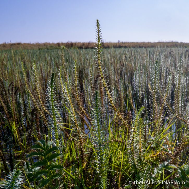 Horsetails at Roadmire - The Hall of Einar - photograph (c) David Bailey (not the)