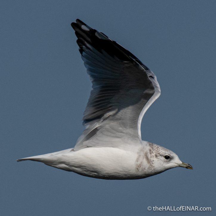 Common Gull - The Hall of Einar - photograph (c) David Bailey