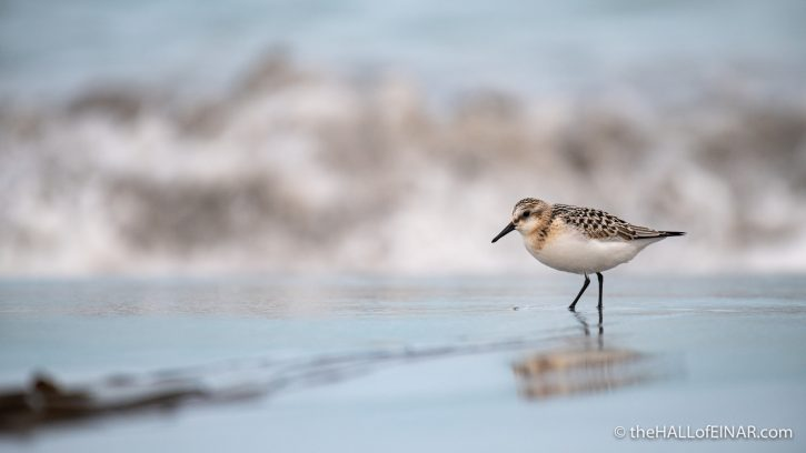 Sanderling - The Hall of Einar - photograph (c) David Bailey