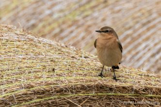Wheatear - The Hall of Einar - photograph (c) David Bailey