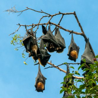 Flying Foxes - The Hall of Einar - photograph (c) David Bailey (not the)