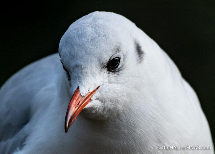 Black-Headed Gull - The Hall of Einar - photograph (c) David Bailey (not the)