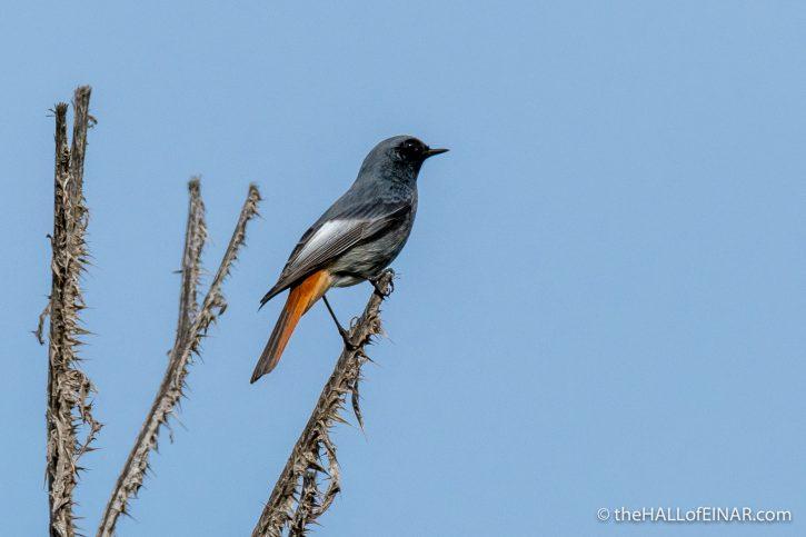 Black Redstarts - Parco della Caffarella - The Hall of Einar - photograph (c) David Bailey (not the)