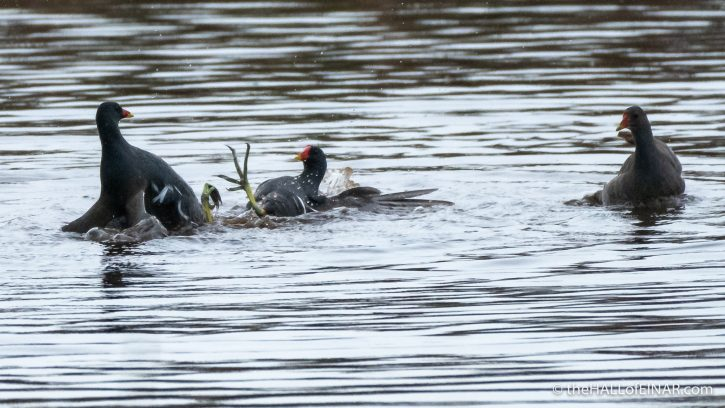Fighting Moorhens - The Hall of Einar - photograph (c) David Bailey (not the)