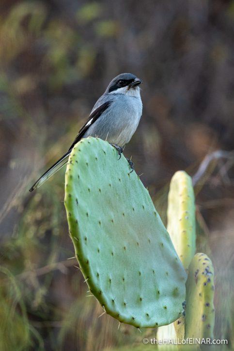 Grey Shrike - Gran Canaria - The Hall of Einar - photograph (c) David Bailey (not the)