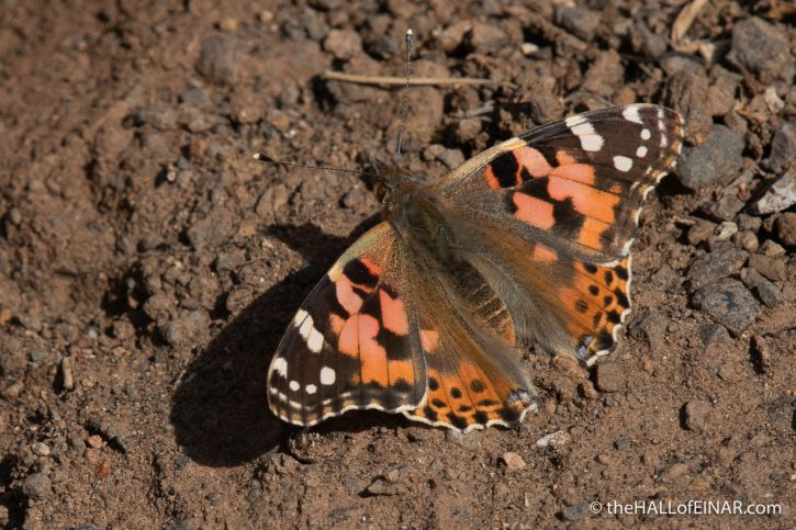 Painted Lady - Gran Canaria - The Hall of Einar - photograph (c) David Bailey (not the)