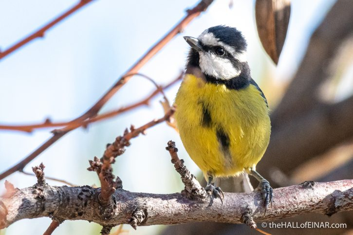 African Blue Tit - Gran Canaria - The Hall of Einar - photograph (c) David Bailey (not the)