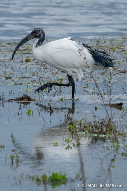 Sacred Ibis - Lago di Alviano - The Hall of Einar - photography (c) David Bailey (not the)