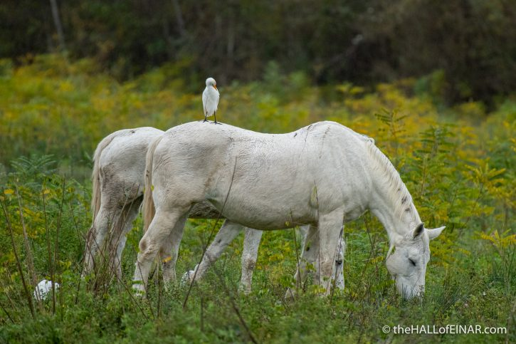 Horse and Cattle Egret - Lago di Alviano - The Hall of Einar - photograph (c) David Bailey (not the)