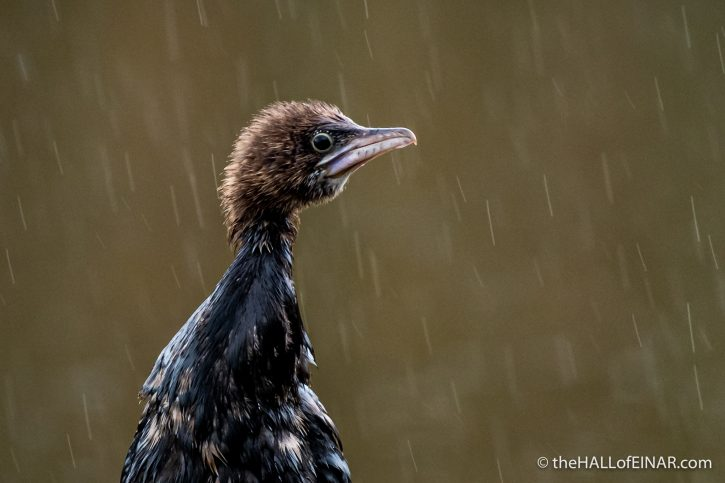 Pygmy Cormorant - The Hall of Einar - photograph (c) David Bailey (not the)