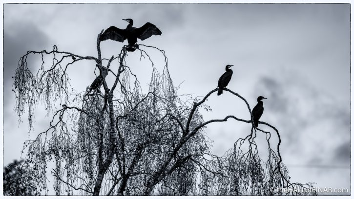 Cormorants - The Hall of Einar - photograph (c) David Bailey (not the)