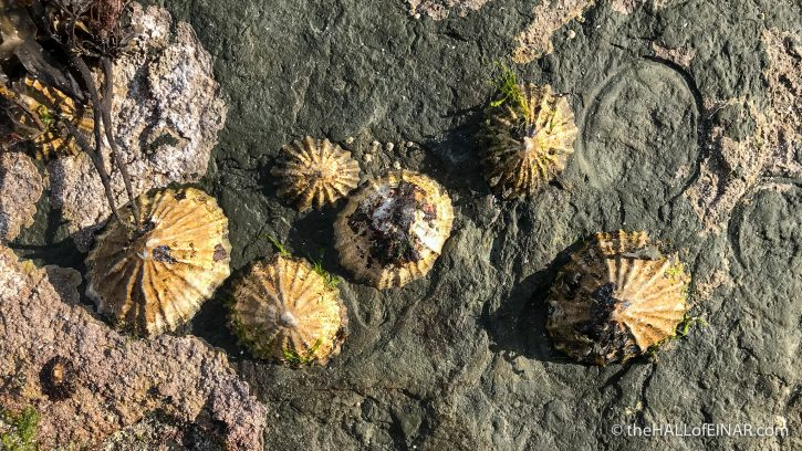 Limpets - Westray - The Hall of Einar - photograph (c) David Bailey (not the)