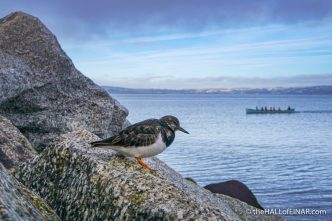 Turnstone at Brixham - The Hall of Einar - photograph (c) David Bailey (not the)