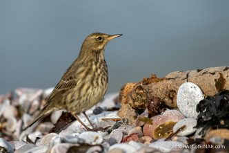 Rock Pipit - Brixham - The Hall of Einar - photograph (c) David Bailey (not the)