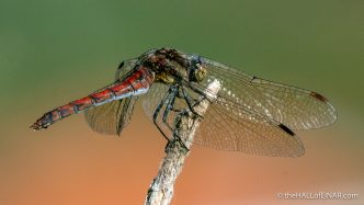 Island Darter Sympetrum nigrifemur - Madeira - The Hall of Einar - photograph (c) David Bailey (not the)