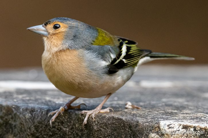 Madeira Chaffinch - The Hall of Einar - photograph (c) David Bailey (not the)