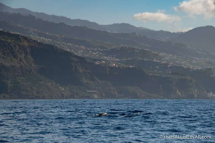 Common Dolphins - Madeira - The Hall of Einar - photograph (c) David Bailey (not the)