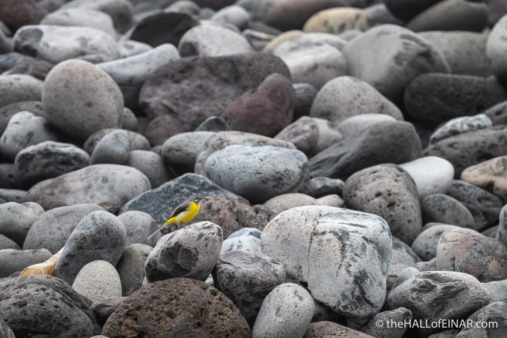 Grey Wagtail - Madeira - The Hall of Einar - photograph (c) David Bailey (not the)
