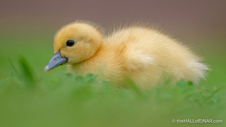 Muscovy Duckling - Madeira - The Hall of Einar - photograph (c) David Bailey (not the)