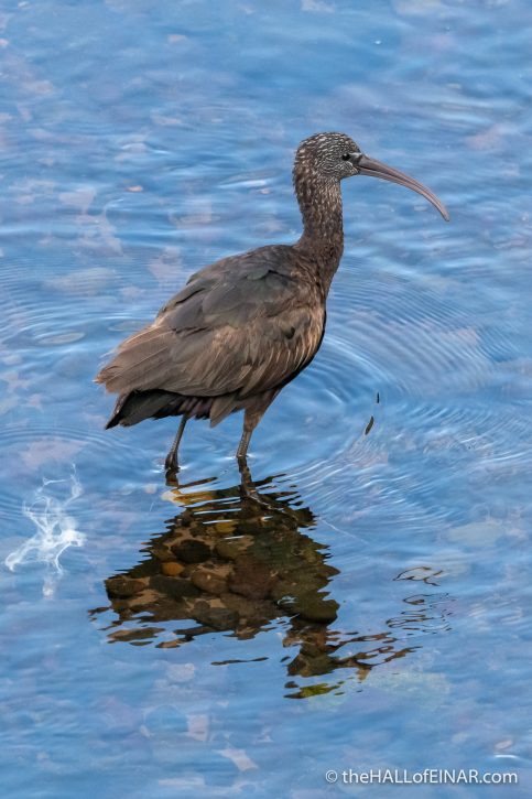 Glossy Ibis - Madeira - The Hall of Einar - photograph (c) David Bailey (not the)