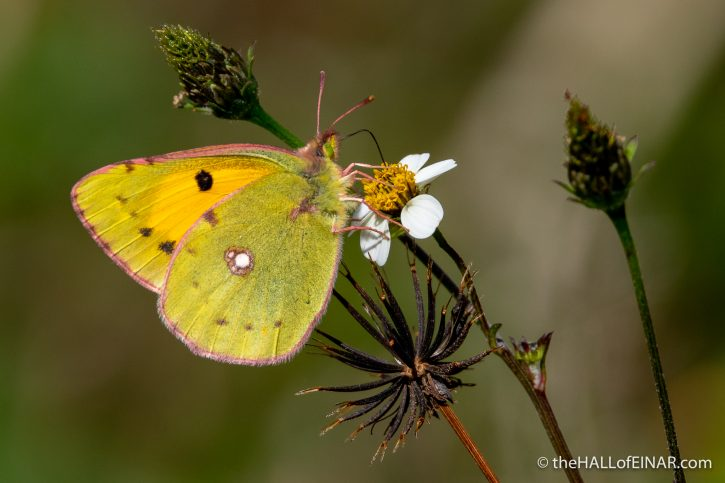Clouded Yellow - Madeira - The Hall of Einar - photograph (c) David Bailey (not the)