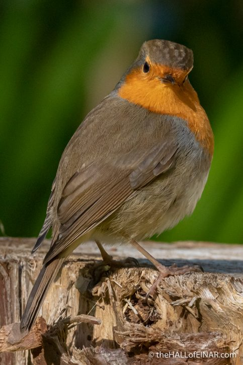Robin - Madeira - The Hall of Einar - photograph (c) David Bailey (not the)