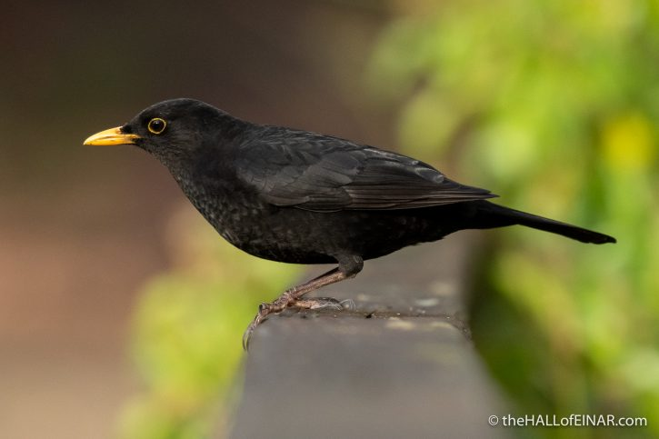 Blackbird at Stover - The Hall of Einar - photograph (c) David Bailey (not the)