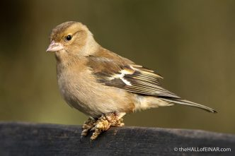 Chaffinch at Stover - The Hall of Einar - photograph (c) David Bailey (not the)