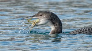Great Northern Diver - Brixham - The Hall of Einar - photograph (c) David Bailey (not the)
