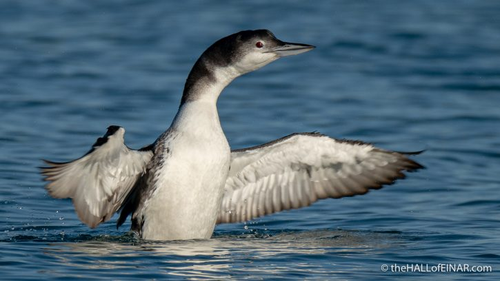 Great Northern Diver - The Hall of Einar - photograph (c) David Bailey (not the)